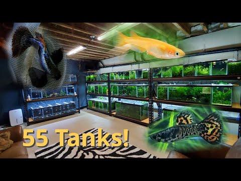 1st Fish Room Tour: 55 Tanks! Rice Fish, Guppies, Angelfish And More