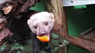 Adorable rescued tayra loves dinner time!