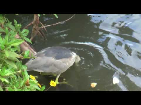 Heron fishing with bread youtube for Fishing with bread