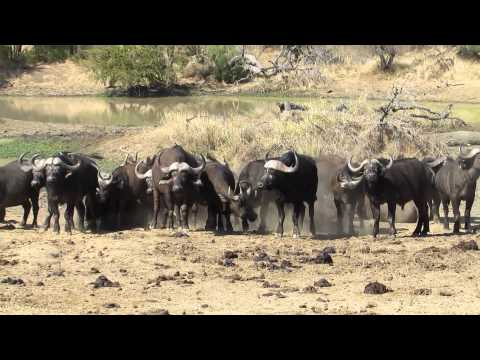 Hannah P2P South Africa Cape Buffalo