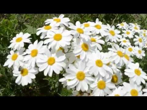 Ромашки цветут. Ботанический сад