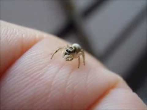 Cute Jumping Spider Wallpaper Zebra Jumping Spider Cleaning Herself So Cute Youtube