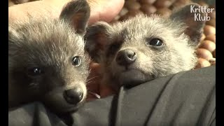 A Man In Love With His ''Badger'' Babies Had No Idea That They're Actually... | Kritter Klub