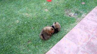 POMERANIAN PUPPIES PLAYING 2 - Seven weeks old