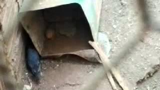 ratazana no puleiro das galinhas