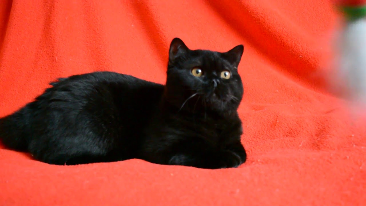 Питомник кошек редких пород профессионально занимается разведением, консультированием и продажей породистых котят +7(495)231-61-81,