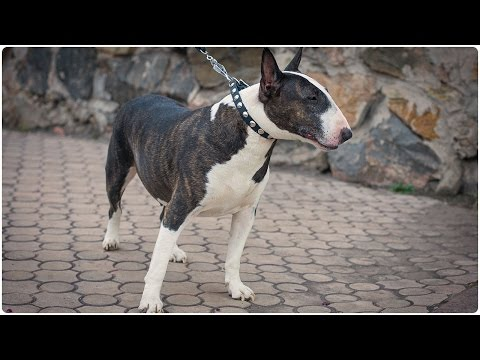 Sweet Bull Terrier in thin leather collar for small dog breeds