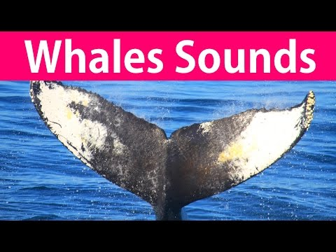 2 Hours of Whales Sounds: Whale Song, Whale Noises, Whale Music, Whale Calls