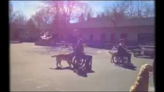 Pulling Of Wheelchairs By Bergin U. Dogs