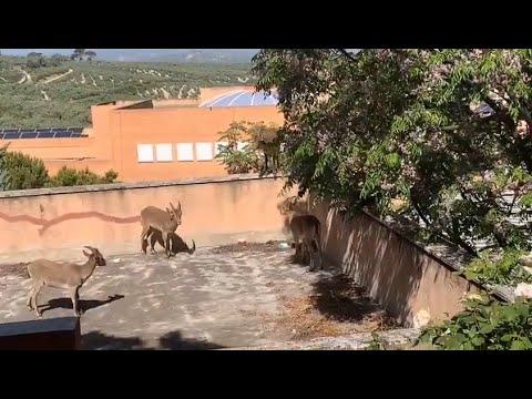 VÍDEO: Un grupo de cabras montesas dejan la sierra y visitan el casco urbano de Rute