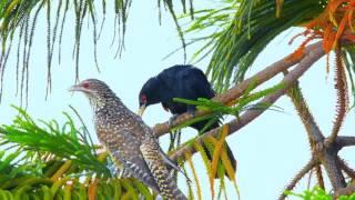 Singing Birds Of Bangladesh   কোকিল  Cuckoo  Koyel  Koel