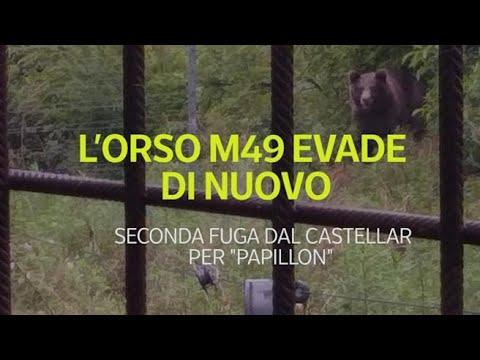 L'orso M49 evade di nuovo: allarme in Trentino
