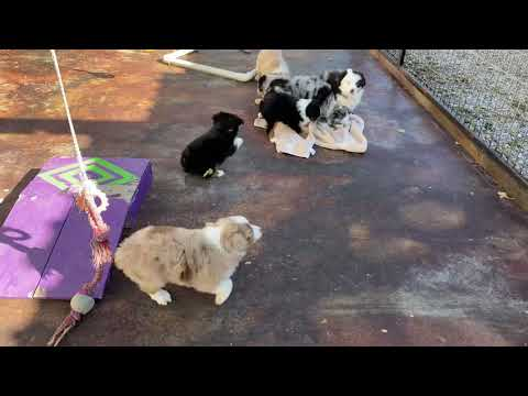 Twila and Emoji Mini/Toy Aussie puppies play at Lindsey's Aussies