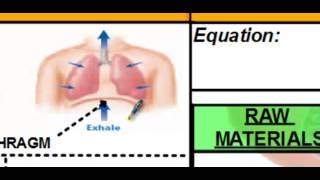 The Human  Respiratory System: Respiratory System and Respiration