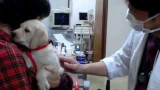 英国ラブラドールレトリバーの母犬ベローナの子犬は、生後53日目になり...