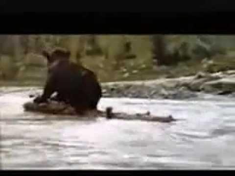 Divertidísimo ocio ventilador  puma vs oso, ley del mas fuerte.http - YouTube