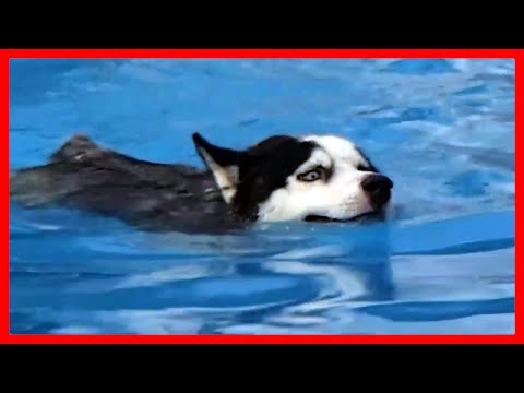 Cute Puppy Husky Playing And Swimming