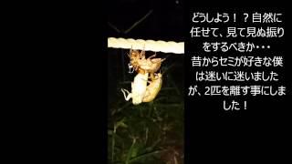 2015夏に偶然撮った「羽化中のセミの幼虫につかまる蝉の幼虫」 最後は無...