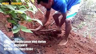 Video Cara Menanam Pohon Durian Musang King download MP3, 3GP, MP4, WEBM, AVI, FLV Juli 2018