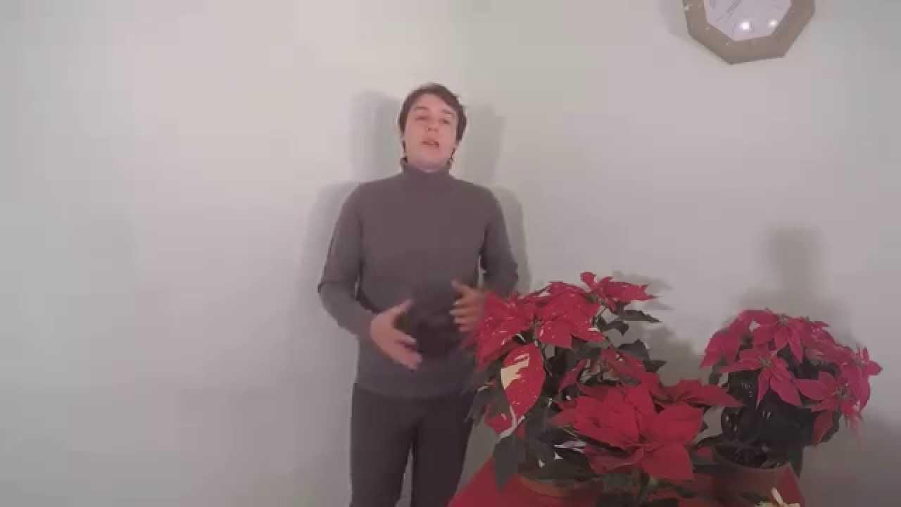 Stella Di Natale Cura E Manutenzione.Come Curare La Stella Di Natale Ecco La Guida Completa