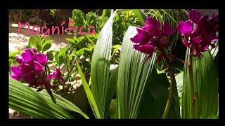 Como eu cultivo a orquídea grapette ( Spatoglottis Unguiculata)