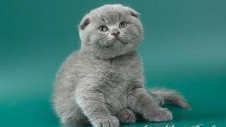 шотландская вислоухая кошка описание породы содержание и уход