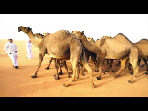 World's Largest Camel Festival - In Saudi Arabia