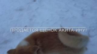 Продажа щенка Акита -ину (девочка)