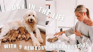 GOLDENDOODLE BREEDER DAY IN THE LIFE | 9 newborn goldendoodle puppies