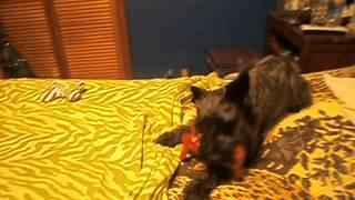 Jake With Schnauzer Love Rescue