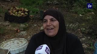 مزارعو الوادي في كفرسوم يبدأون قطف ثمار الرمان (8/10/2019)