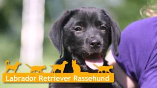 Labrador Retriever Welpen In Nottuln