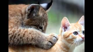 Рысь и ее «мама» кошка