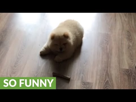 Chow chow puppy can't figure out dog treat