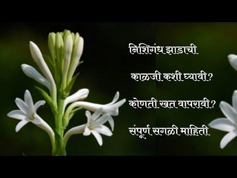 निशिगंध झाडाची कशी काळजी घ्यावी ,भरपूर फुले लागण्यासाठी काय करावे .