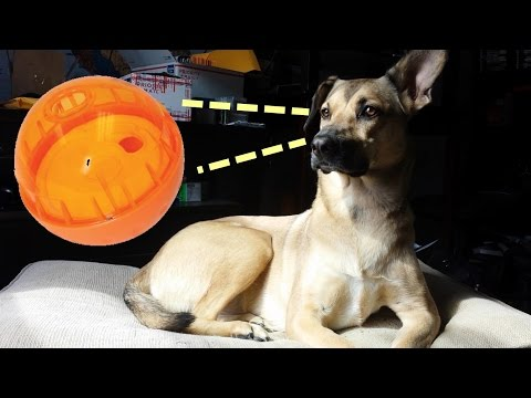 Smart Dog Playing with a Treat Ball - Clever dog has it figured out! - Puppy games