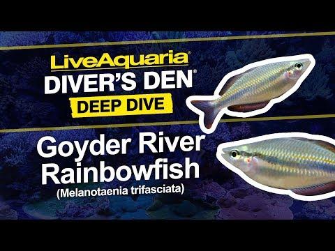 LiveAquaria® Diver's Den® Deep Dive: Goyder River Rainbowfish (Melanotaenia Trifasciata)