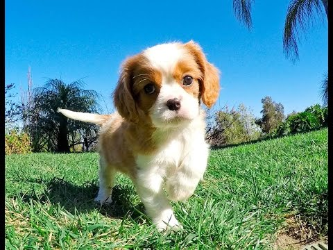 Brennan the Cavalier King Charles Male Puppy For Sale in San Diego,