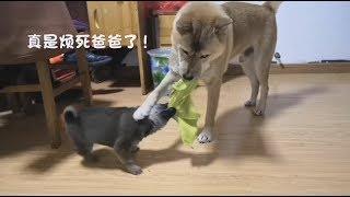 中华田园犬小奶狗和阿黄拔河比赛,被颠来甩去,晕头转向也不认怂!发布...