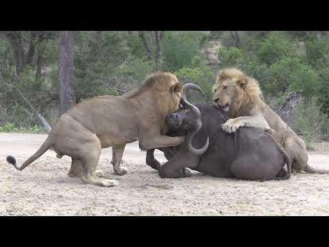 LION KILLS