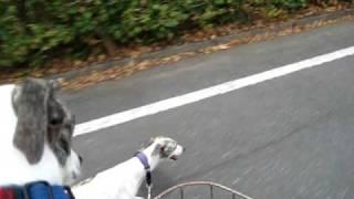 自転車のカゴにのっているウィペットのモヒートと一生懸命走るテキーラ。