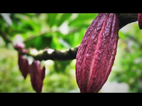From Tree to Chocolate Bar: Heirloom Cacao in Costa Rica w/ Peter Kring