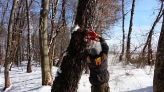 Пилим березовый сувель в лесу