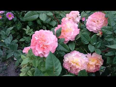 Розы: Августа Луиза , Строуберри Хилл , Поэзия и другие