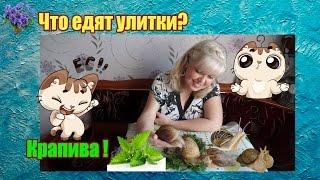 Что едят улитки ахатины из зелени в домашних условиях? Крапива