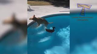 yt1s com   Get ready for LAUGHING SUPER HARD  Best FUNNY DOG videos 1