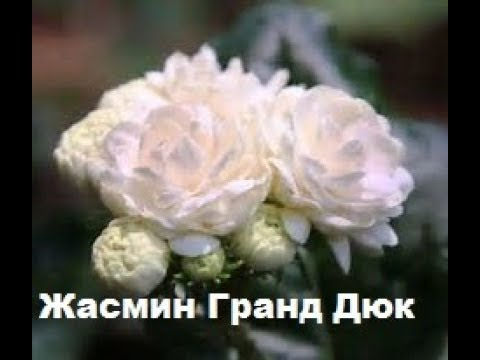 Жасмин ( jasmine, jasmin ) цветущий кустарник - YouTube