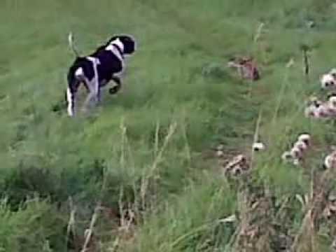 Dog whisperer Ade Howe films a Spanish Pointer stalking a rabbit.