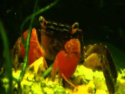aquarium crab doovi