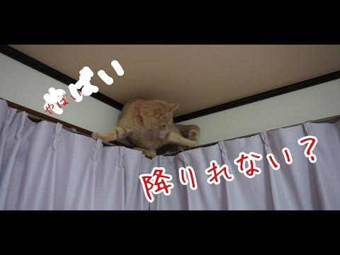 戻れない??猫がカーテンレールの上を歩く Cat playing with curtain rail